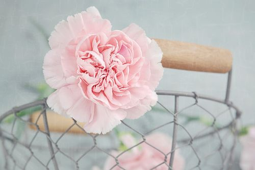 carnation flower blossom