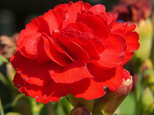 carnation red flower