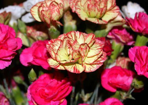 carnation baby carnation flower