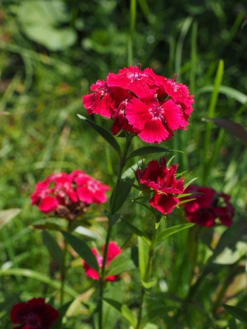 carnation sweet william flowers