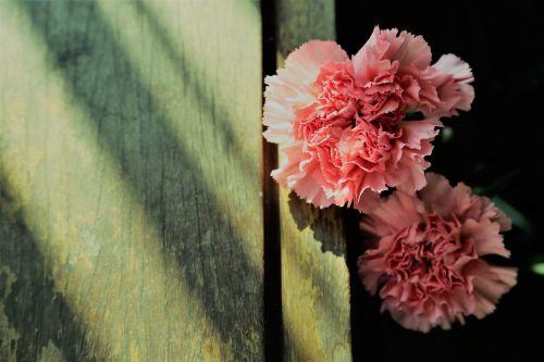 carnation phăng hoa cẩm chướng