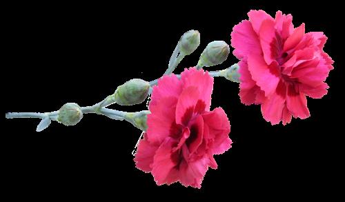 carnation stem flowers