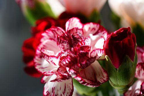 carnation cultivar dianthus caryophyllus