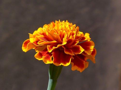 carnation  carnation moro  flower