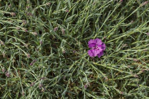 carnation  flower  pink
