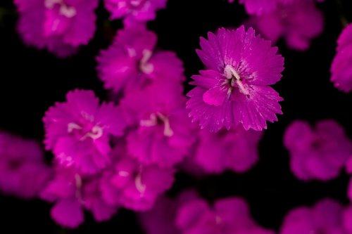 carnation  pink  blossom