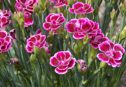 carnation  dianthus caryophyllus  clove pink