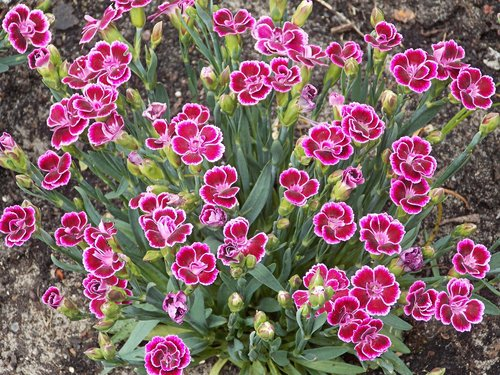 carnation  dianthus  clove pink