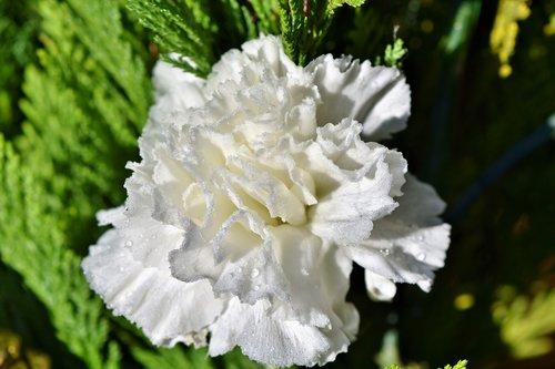 carnation  carnation flower  petals