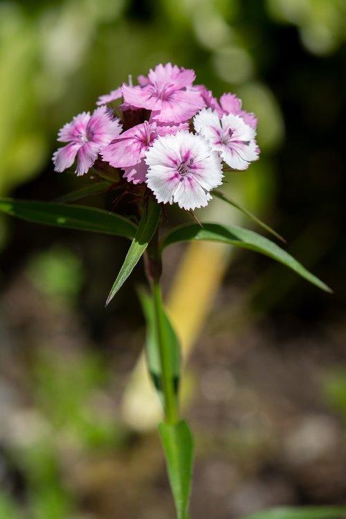 carnation  garden  flower