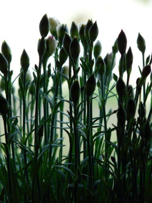 carnation dianthus plant