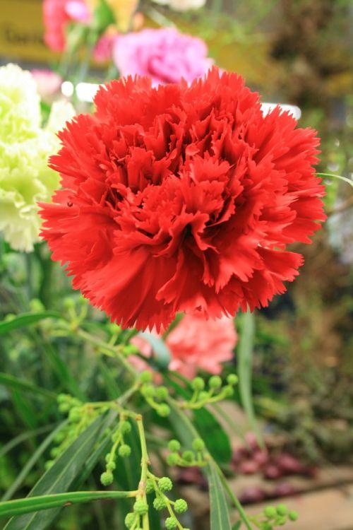 carnation dianthus red