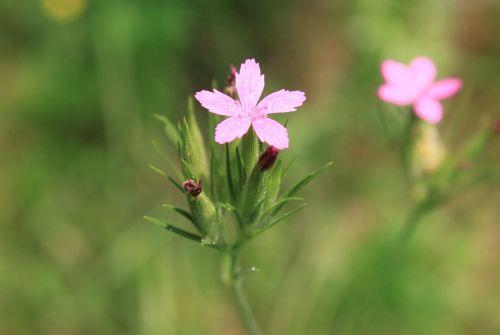 carnation dianthus flowers