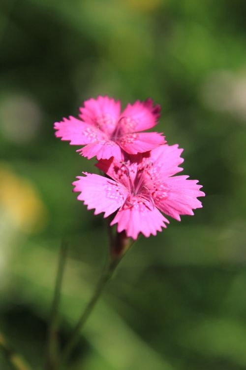 carnation caryophyllaceae dianthus