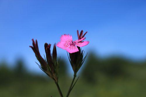 carnation caryophyllaceae dianthus