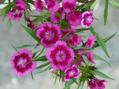 carnation flower blossom