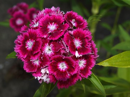 carnation chinese  flower carnation  flowers