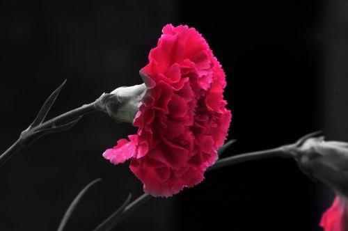 Carnation Flower 2