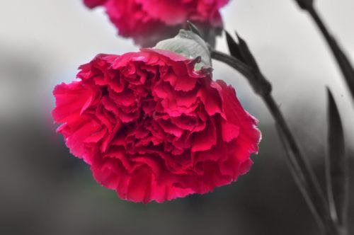 Carnation Flower 3