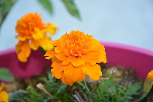 carnation of india flower orange