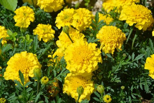 carnations of india yellow flowers