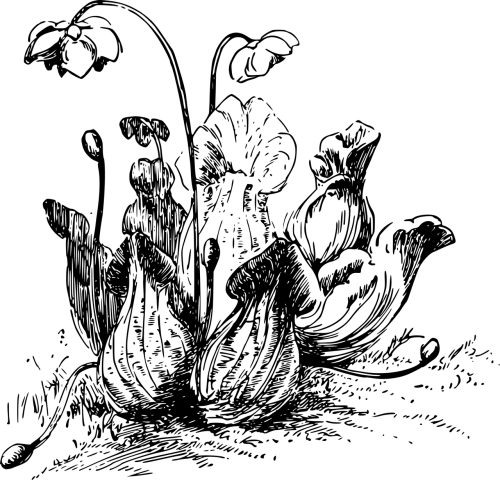 carnivore carnivorous pitcher