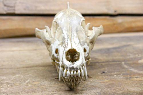 Carnivore Skull
