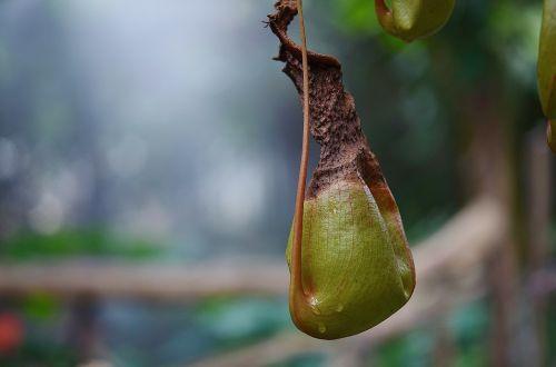 carnivorous plant carnivorous pitcher
