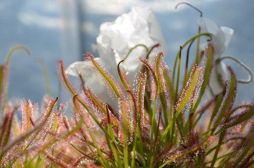 carnivorous plant  drop  green