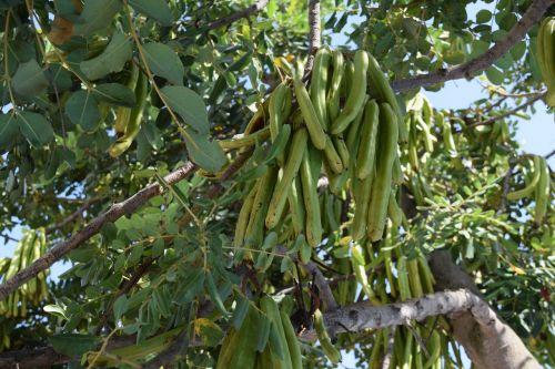 carob beans seed
