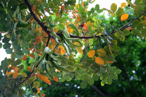 Carob Tree With Seed Pods