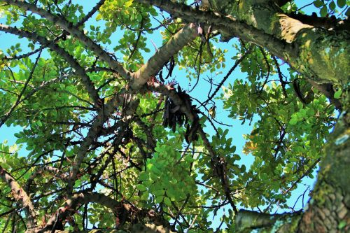Carob Tree With Seeds