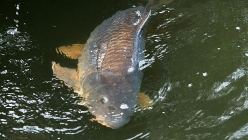 carp angling netherlands