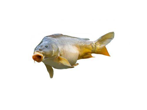 carp angler fischer