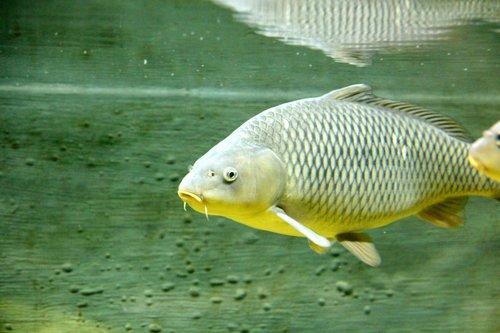 carp  fish  underwater