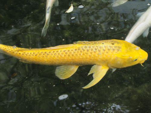 carp gold wealth