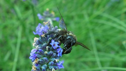 carpenter bee blue black wooden bee insect