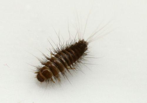 dermestidae anthrenus skin beetles