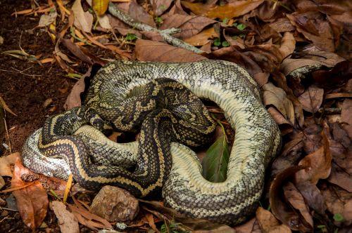 carpet python dead snake