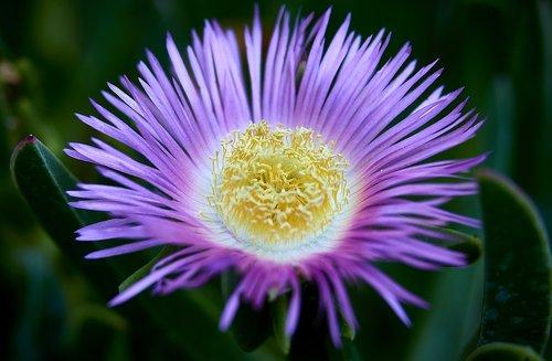 carpobrotus  flower  petals