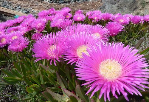 carpobrotus edulis plant flowers