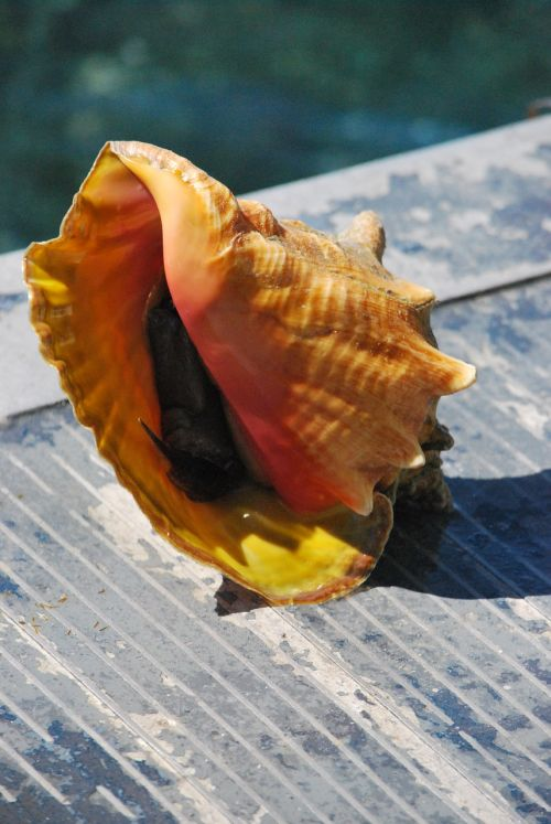 seashell carribean conch