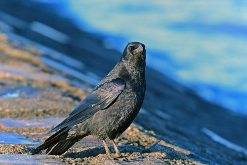 carrion crow birds corvidae