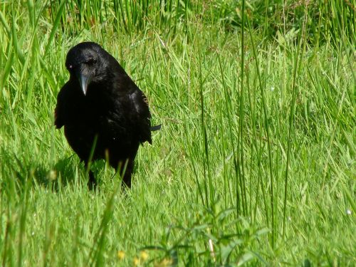 carrion crow bird nature