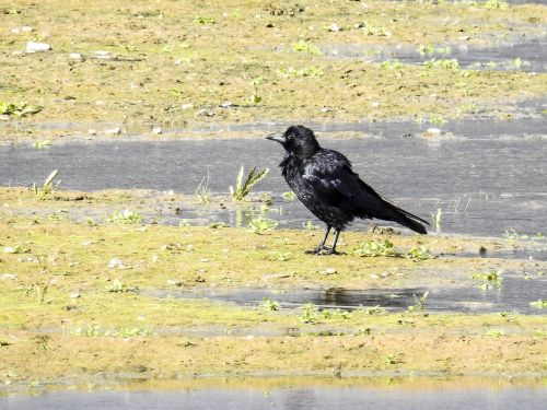 carrion crow crow bird
