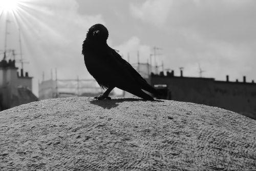carrion crow birds bird