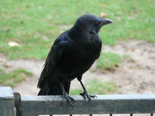 carrion crow corvus corone crow