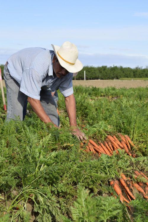 carrot grower carrot grower