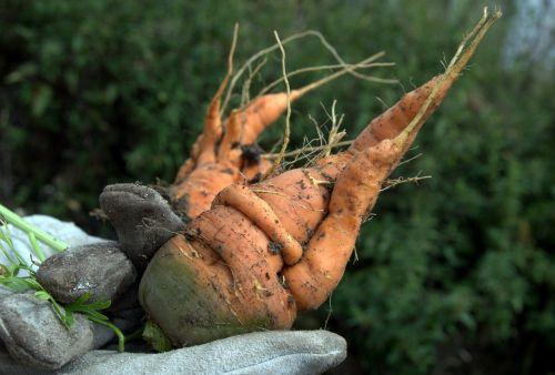 carrot vegetables garden