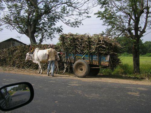 cart bullock ox cart